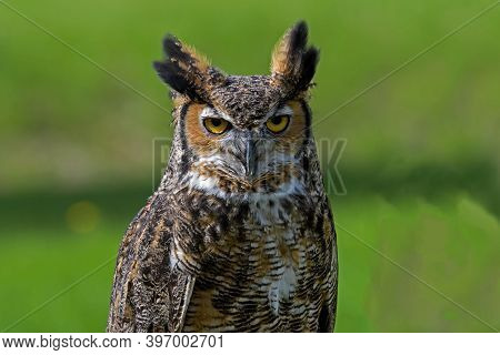 Great Horned Owl, Also Known As The Tiger Owl Or The Hoot Owl In Daylight. It Is A Large Owl Native