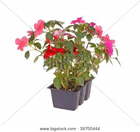 Pack Of Pink And Red Impatiens Seedlings Ready For Transplanting