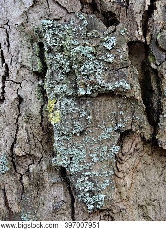 Close Up Of A Tree Bark With Lichen Infestation