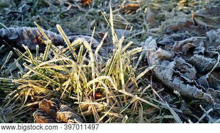 The First Frosts, Frost In The Garden On Plants, Frost On The Flora And Grass, As Well As Flowers An