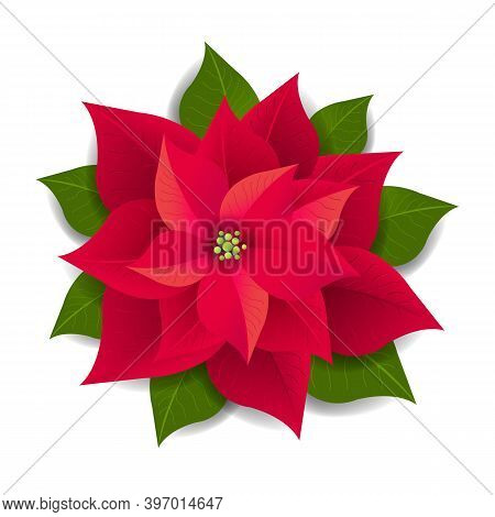 Red Poinsettia Isolated White Background With Gradient Mesh, Vector Illustration
