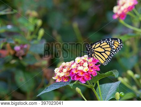 Monarch Butterfly On Pink And Yellow Lantana Flowers.