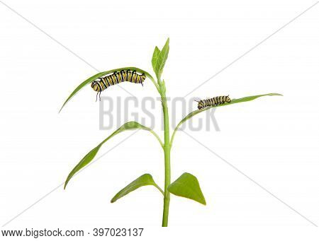 Two Monarch Caterpillars On Milkweed Seedling, Third Instar Hanging From Bottom Of A Leaf And Second