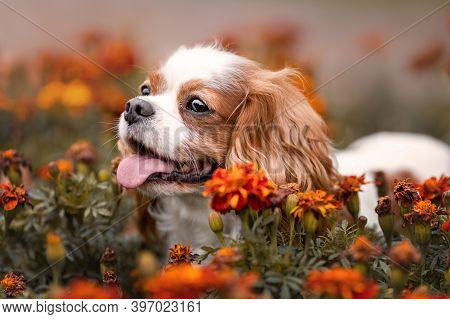 Funny Cavalier King Charles Dog With Tongue Out Among Orange Flowers. Close Up Pet Portrait