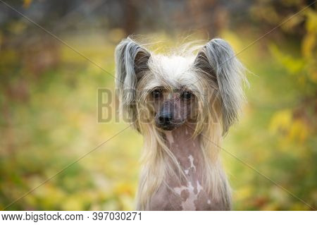 Portrait Of Beautiful Chinese Crested Dog In Autumn Forest. Cute Hairless Chinese Crested Dog Sittin
