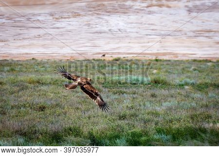 Flight Of Steppe Eagle Or Aquila Nipalensis Above The Ground.