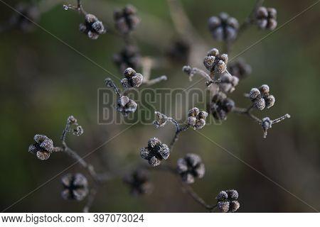 Seeds Of Rue (ruta Graveolens)with Small Rime Ice Crystals, Wabi Sabi Nature Concept, Close Up Shot