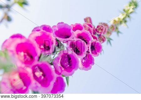 The Purple Flower Is The Foxglove. Close Up. Beautiful Plant In The Garden. Background. The View Fro