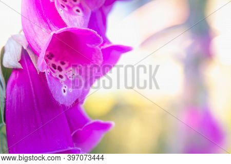 The Purple Flower Is The Foxglove. Close Up. Beautiful Plant In The Garden.