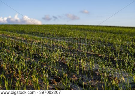 Landscape Young Wheat Seedlings Growing In A Field. Green Wheat Growing In Soil. Close Up On Sprouti
