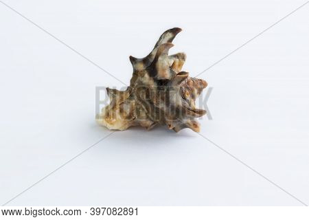 Marine Life: Light Spiny Gastropod Seashell Close-up On White Background
