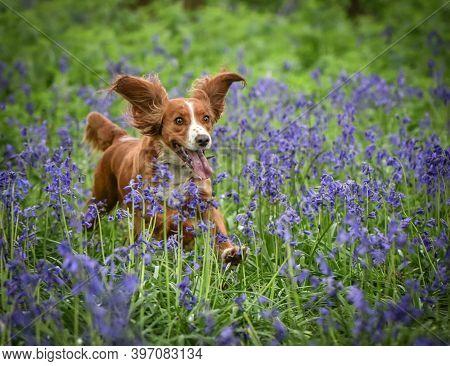 Golden Working Cocker Spaniel Running Through Bluebells In Woodland In Spring
