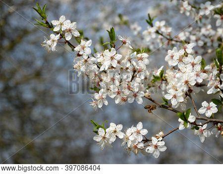 Prunus Avium Cherry Branches Are Frequently Visited By Honey Bee Prunus Avium White Flowers Blue Sky