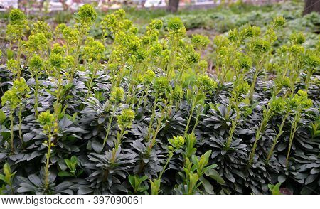 Euphorbia Amygdaloides Var Robbiae Shiny Green Leaves Greenish Flowers Plant In Park Green Poisonous