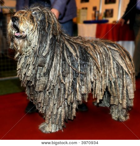 Pedigree Bergamasco Sheepdog