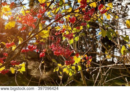 Twigs With Red Poisonous Fruits Of A Common Spindle In Autumn Sunlight
