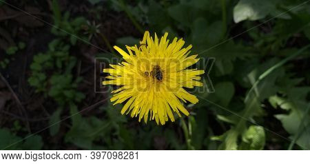 Yellow Dandelion With A Bee In Dark Green Grass, Shallow Dof