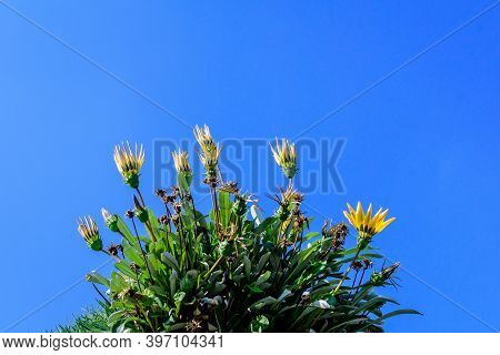 Many Vivid Yellow Gazania Flowers And Blooms  And Green Leaves In Soft Focus, In A Garden Pot In A S