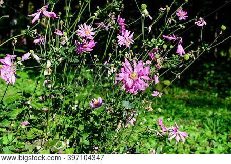 Many Delicate Fresh Pink Flowers Of Anemone Hupehensis Plant, Known As Prinz Heinrich Chinese Or Jap