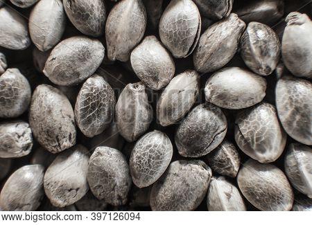 Organic Hemp Seed. Macro Detail Of Marijuana Seed. Top View. Hemp Seeds Background In Macro.