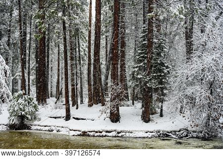 Snow Falls Into Forest Of Yosemite Valley Behind Merced River