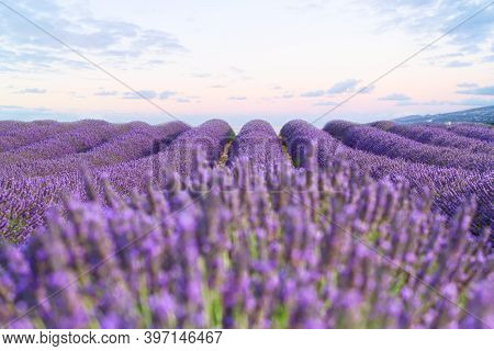 Lavender Fresh Flowers Field With Summer Blue And Pink Sunrise Sky, Provence, France
