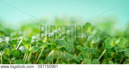 Arugula Micro Greens On Blue Background. Superfoods Concept. Copy Space.