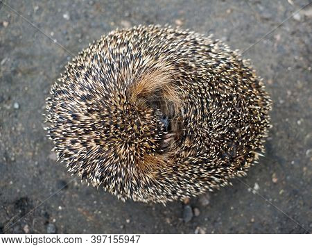 The Startled Hedgehog Curled Up In A Ball