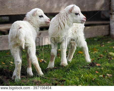 Small Snow-white Lambs On The Farm Pasture