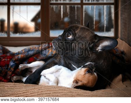 Cute Dogs Enjoy The Warmth Under The Blanket. Winter Evening, Snow-covered Window