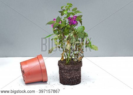 Houseplant Rose Leaned Out Of The Old Shop Flowerpot For Transplanting Into A New Pot