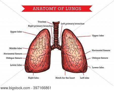 Human Lungs Anatomy, Vector Sketch Medicine Aid Scheme Of Body Internal Pulmonology Organ. Engraved