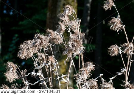 The Dry Wilted Flower Heads Of Thistles On A Sunny Day