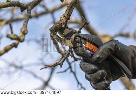 Gardener With Black Gloves And Pruning Shears Cutting Apple Tree Branch Outside In  Sunny Day.