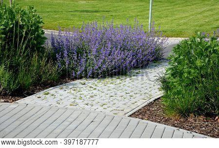 Nepeta Faassenii Blue Sage Plants Along The Sidewalk Made Interlocking Concrete Tiles Paving Crossin