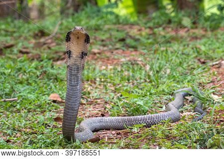 The King Cobra (ophiophagus Hannah) In Defensive Position