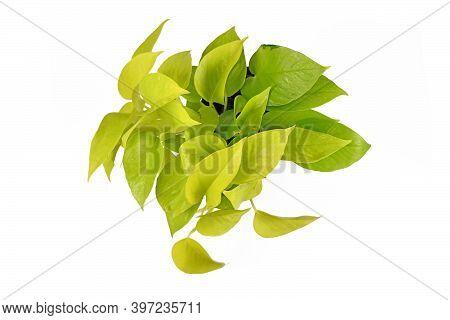 Tropical Houseplant With Correct Botanic Name 'epipremnum Aureum Lemon Lime' With Neon Green Leaves