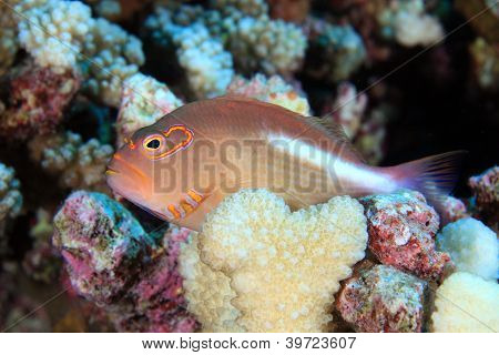 Arc-eye hawkfish