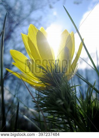 Wild Flower Adonis Vernalis With Nectar Blooming In Field Countryside. Nature Consisting Of Wild Flo