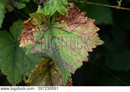 Anthracnose Of Grapes, Fungus Disease. A Close-up Of A Grape Vine Leaf With Yellow And Brown Patches