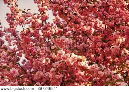 Pink Sakura Flower. Floral Background. Spring Blooming Nature. Warm Summer Day. Beauty Of Season. Ch