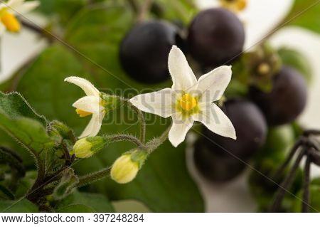 Black Nightshade Plant Isolated On White Background