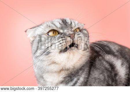 A Gray Scottish Fold Cat Looks Angrily To The Side. The Concept Of Pet Aggression, Behavior Correcti
