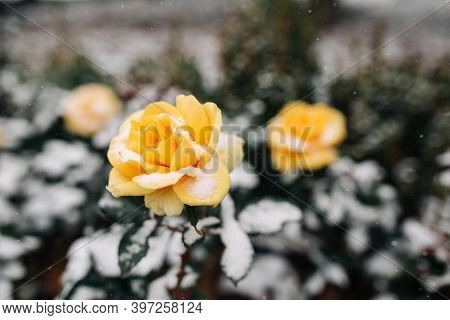 Yellow Roses Bushes Covered With Snow At A Winter Park. Green Bushes Of Beautiful Yellow Roses Flowe