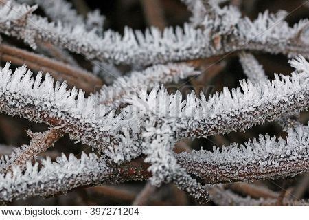 Frost On A Plant In Winter In Close Up