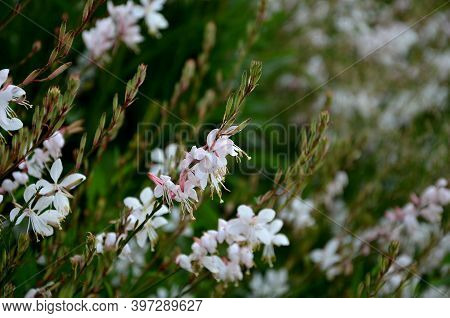 Bushy Growing Perennial, Sometimes Grown As An Annual In Our Conditions. Has A Long Flowering Period