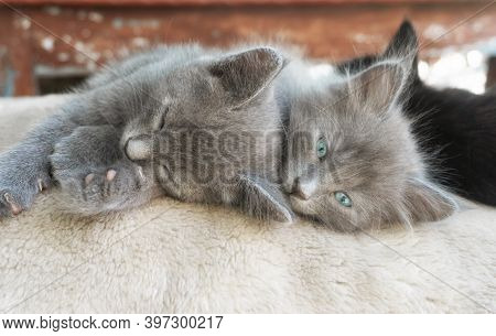Two Gray Fluffy Kitten Are Sleeping Embracing