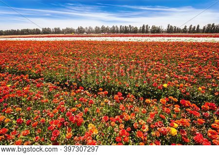 Beautiful sunny spring day.  Israel. Spring walk in southern. Kibbutz field of flowering colorful buttercups. Ecological, botanical and photo tourism concept