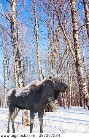 Extreme north in winter. Moose with powerful horns in the forest. The northern winter sun is low on the horizon. Aspen and birch trees are covered with frost.
