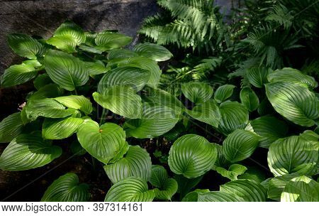 Busty, Undemanding Perennial, Ornamental Mainly With Leaves. Cultivar With Large And Decorative Hear